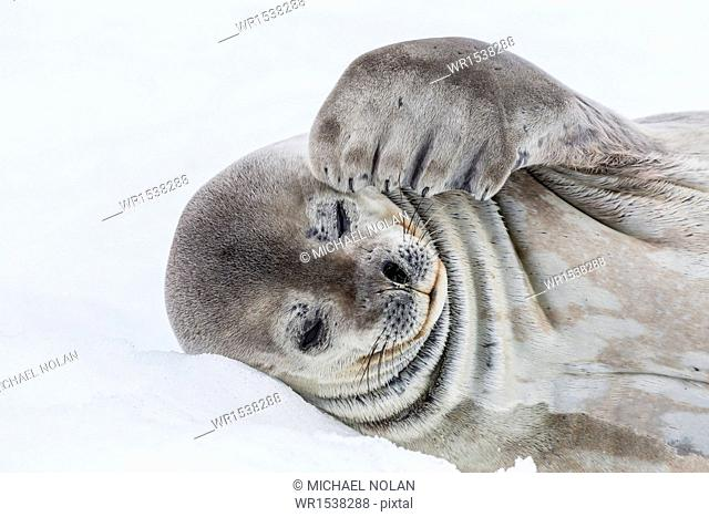Weddell seal (Leptonychotes weddellii) resting on ice at Half Moon Island, South Shetland Island Group, Antarctica, Polar Regions