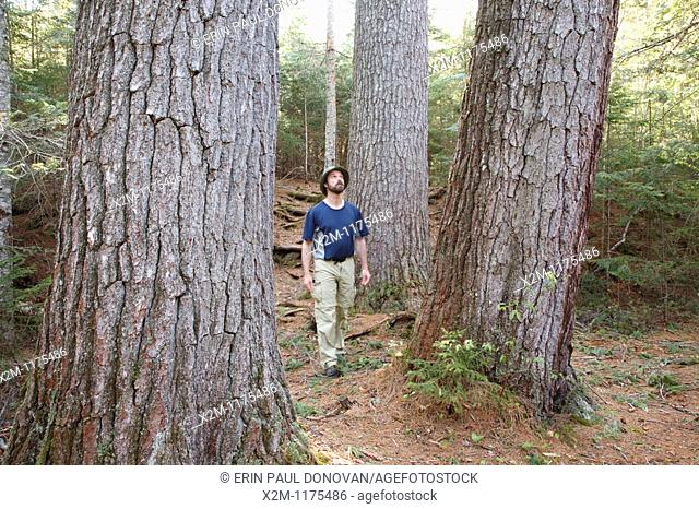 A hiker explores the enormous White Pines on the side of the Mad River in the White Mountains, New Hampshire USA