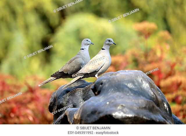 Two Eurasian Collared Dove Looking in The Same Direction