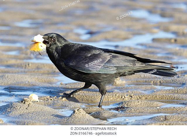 Kolkrabe Corvus corax am Strand - Common Raven Corvus corax on the beach