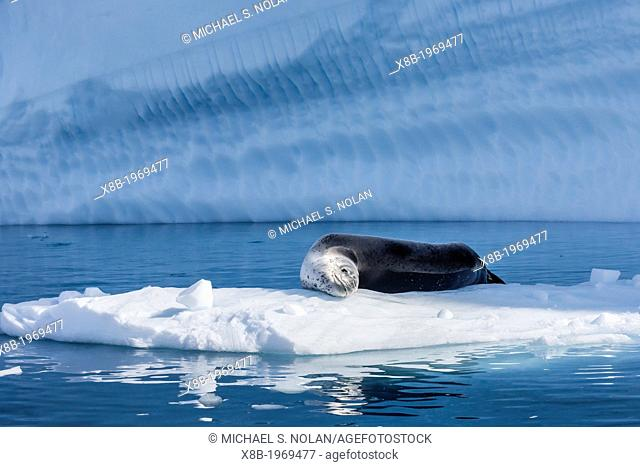Adult leopard seal, Hydrurga leptonyx, Booth Island, Antarctic Peninsula, Southern Ocean