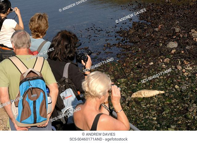 Group of people watching seals on beach, Martins Haven, Marloes, Pembrokeshire, Wales, UK, Europe
