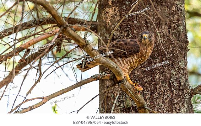 Pedatory, Red-Tail Hawk. Lands on tree branch, eats a frog he caught. Dramatic and graphic depiction of predatory bird eating his prey, flesh tearing, nature
