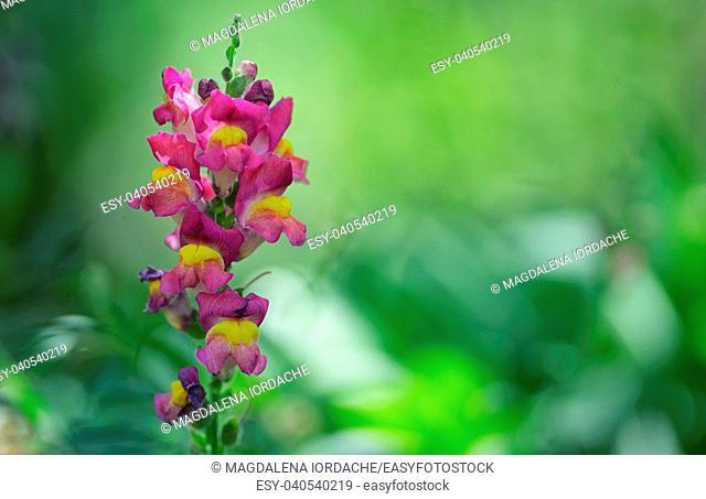 Antirrhinum cirrhigerum flower in garden