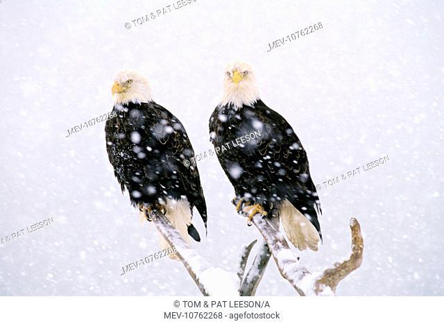 Bald Eagles - in heavy winter snowstorm. (Haliaeetus leucocephalus)