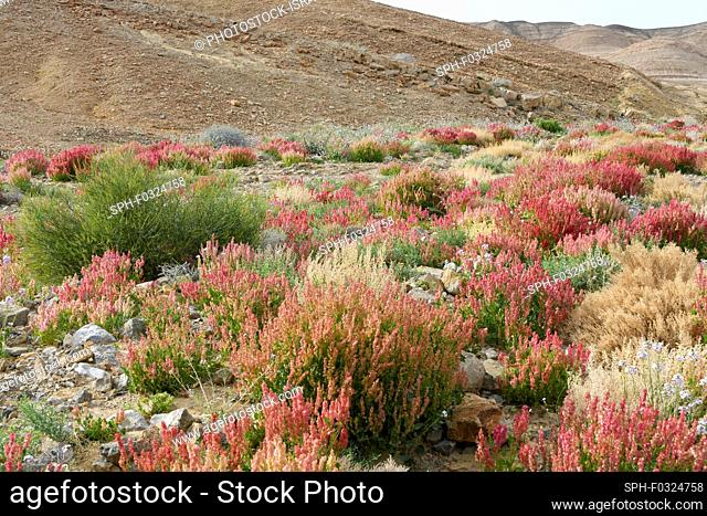 Knotweed sorrel (Rumex cyprius syn Rumex roseus). After a rare rainy season in the Negev Desert, and Israel in general, an abundance of wildflowers sprout and...