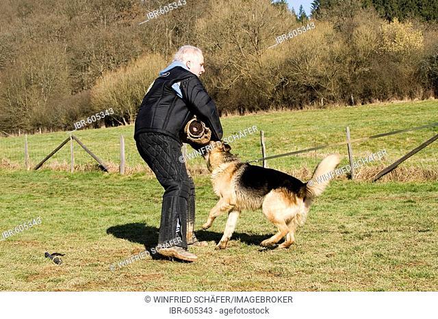 Man training a German shepherd dog in protective behavior in Daun, Vulkaneifel, Germany, Europe