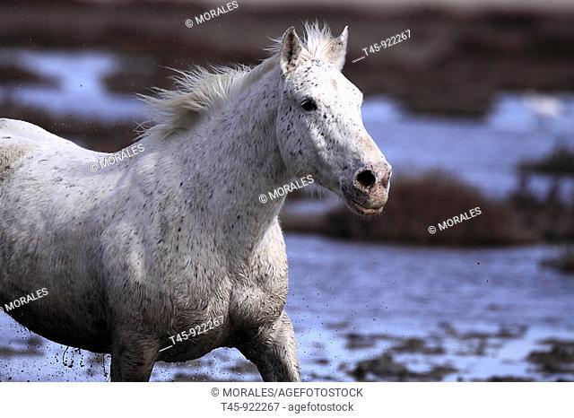 Cheval camargue aux Saintes Maries de la Mer  Camargue Bouches du Rhone  13 Camargue horse