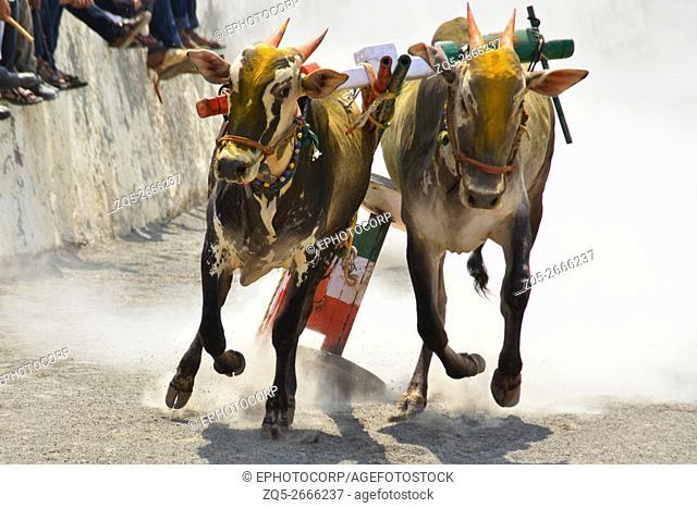 Traditional Bullock cart racing ( bailgada sharyat ) Maharashtra , India