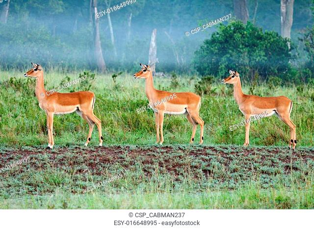 Impala In The Mist