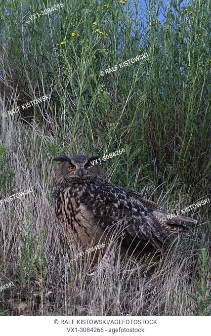 Eurasian Eagle Owl ( Bubo bubo ), adult, sitting, watching for its chicks, bright orange eyes, at dusk, nightfall, wildlife, Europe
