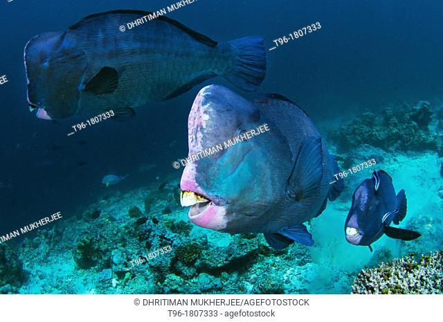 Bolbometopon muricatum , Green Humphead Parrotfish, or Bumphead parrotfish