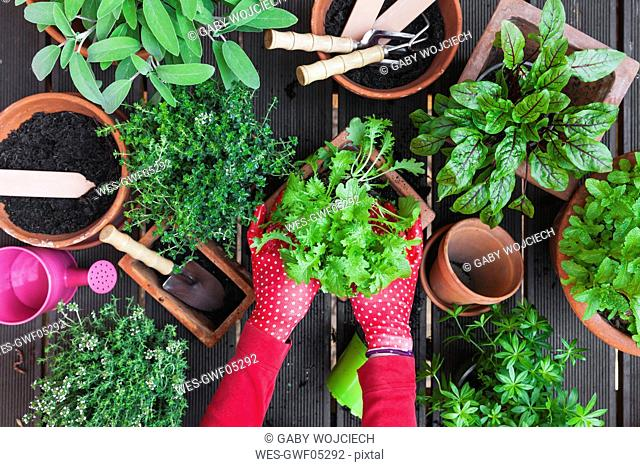 Woman's hands planting herbs on terrace