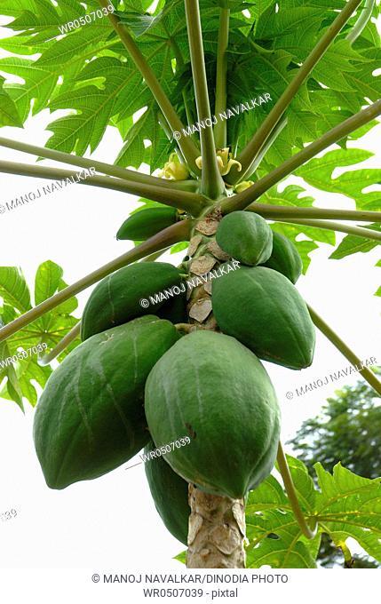 Fruits , papaya green fruit , Mangalore , South Kanara , Karnataka , India