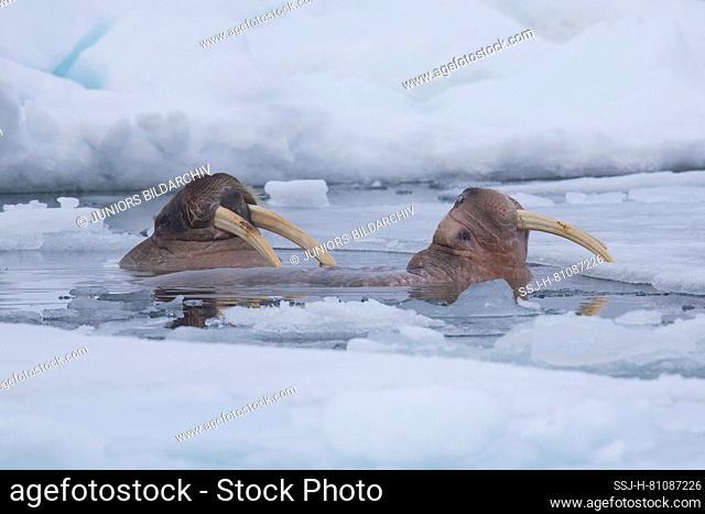 Walrus (Odobenus rosmarus). Two adult males swimming among ice floes. Svalbard