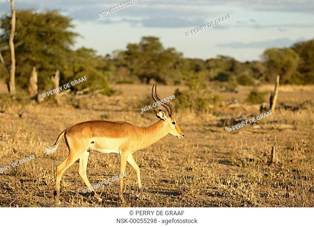 Impala (Aepyceros melampus) male, territorial advertising, raising the tail to show the white side, a behaviour also associated with dominance display
