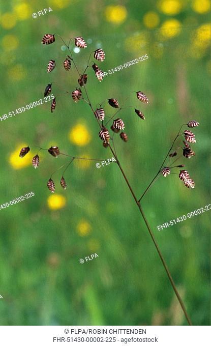 225 Seeds Suffolk Herbs Grass-Briza Media