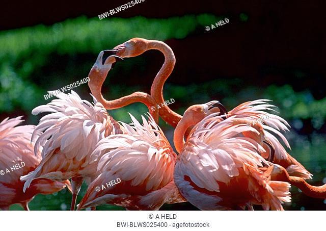 Caribbean flamingo Phoenicopterus ruber ruber