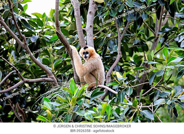 Northern White-cheeked Gibbon (Nomascus leucogenys), adult female on a tree, capive, Singapore