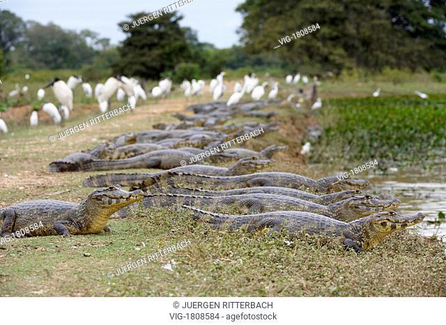 huge group of yacare caimans, MATO GROSSO, Brasil, South America - PANTANAL, MATO GROSSO, BRASIL, 29/07/2009