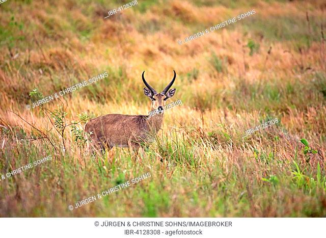 Southern Reedbuck (Redunca arundinum), adult male, Saint Lucia Estuary, iSimangaliso Wetland Park, Kwazulu Natal, South Africa