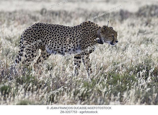 Cheetah (Acinonyx jubatus), adult male wearing a transmitter collar, walking in open grassland, Mountain Zebra National Park, Eastern cape, South Africa, Africa