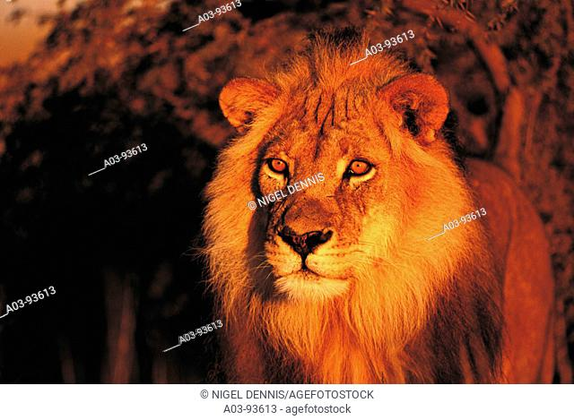 Lion (Panthera leo). Kalahari-Gemsbok National Park, South Africa