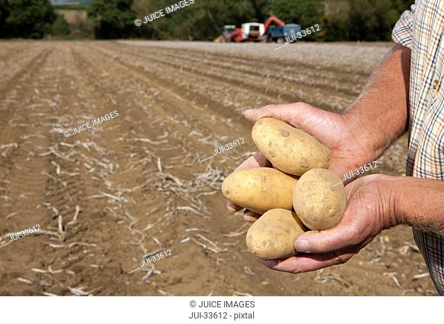 Close up of farmer holding potatoes in sunny, rural field with tractors in background