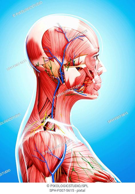 Female anatomy, computer artwork