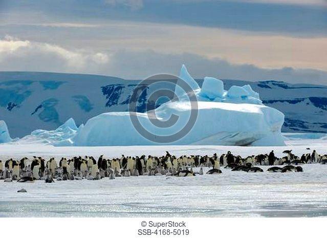 antarctica, weddell sea, snow hill island, emperor penguin colony aptenodytes forsteri on fast ice