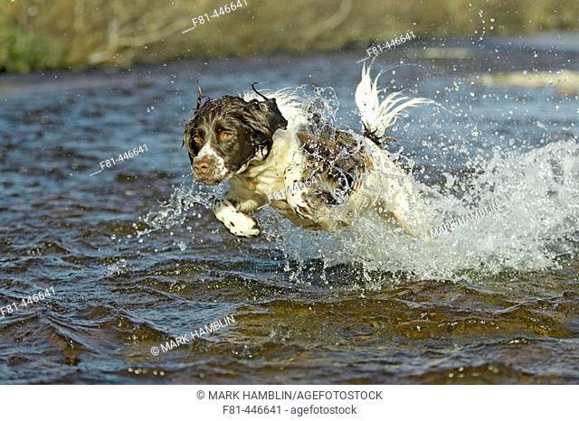 Springer spaniel adult dog running through shallow river, spalshing water. Scotland