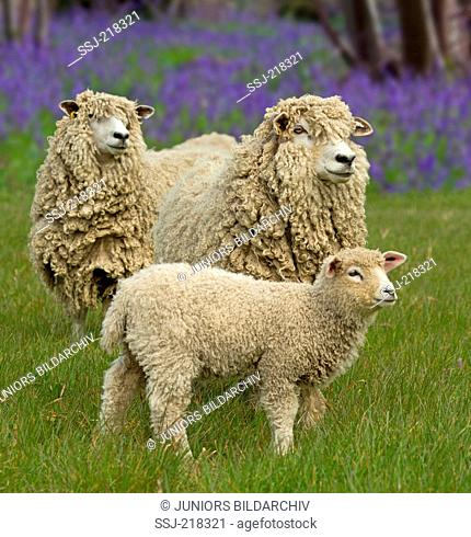 Cotswold Sheep. Ewes and lamb on a pasture with flowering Harebells in background. England