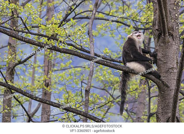 Yunnan Black Snub-Nosed Monkey (Rhinopithecus Bieti) in a natural environment in Yunnan - China