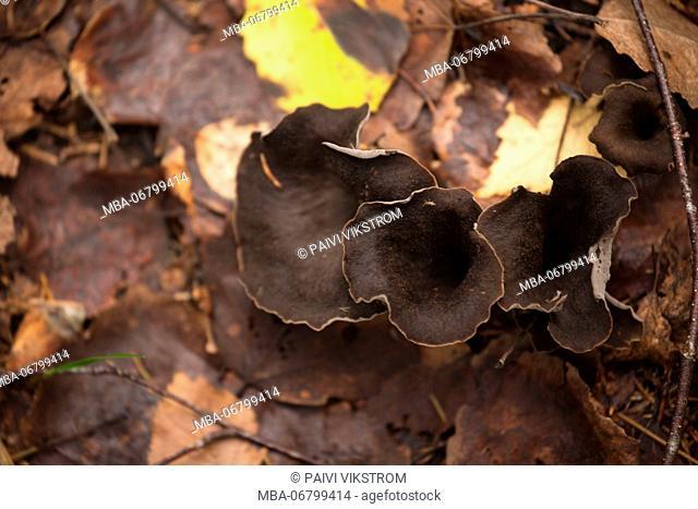 Black trumpet mushroom, Craterellus cornucopioides, black chanterelle