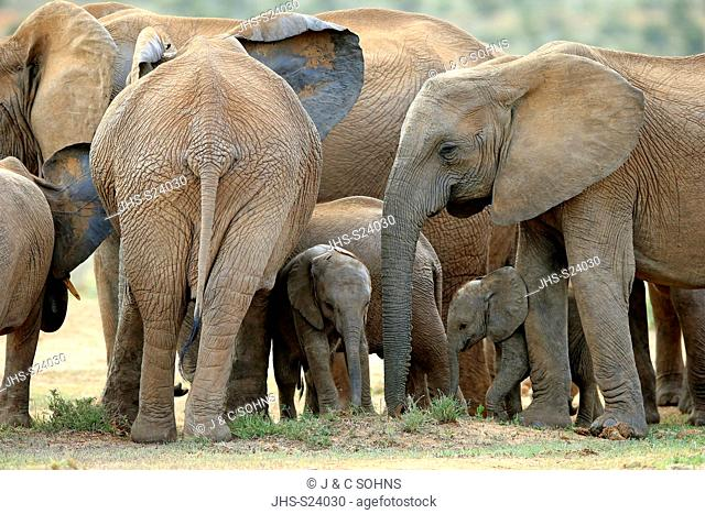 African Elephant, (Loxodonta africana), adult and youngs feeding, Addo Elephant Nationalpark, Eastern Cape, South Africa, Africa