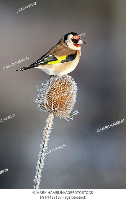 Goldfinch Carduelis cardulies adult feeding on teasel in winter, Scotland, February 2010