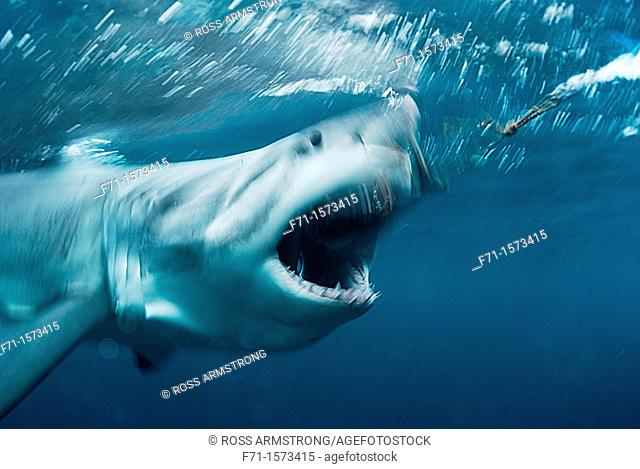 Great white shark Carcharodon carcharias going for a bait Stewart Island, New Zealand