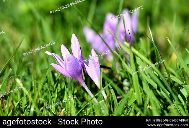 25 September 2021, Bavaria, Garmisch-Partenkirchen: Autumn crocus blooms in a meadow. The poisonous plant, which begins to bloom only in autumn