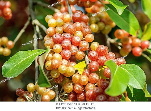 Autumn-olive, Autumn oleaster, Autum olive (Elaeagnus umbellata 'Serinus', Elaeagnus umbellata Serinus), cultivar Serinus