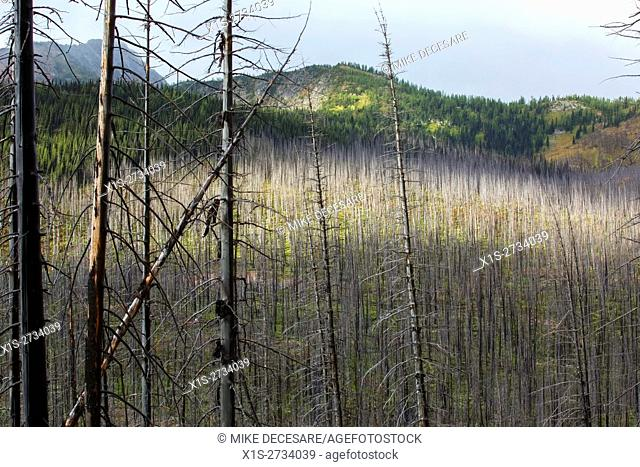 A once healthy forest devastated by wild fire in the Pacific Northwest