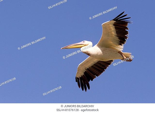 Great White Pelican (Pelecanus onocrotalus), adult in flight. Ziway Lake, Ethiopia