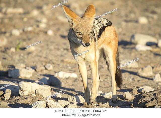 Black-backed jackal (Canis mesomelas), Etosha national park, Namibia, Africa