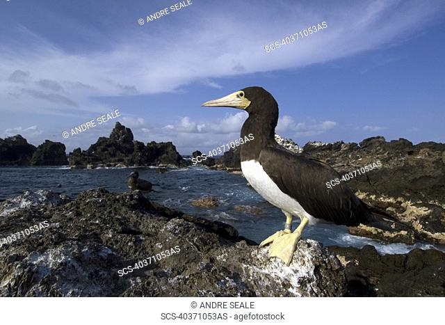 Brown booby, Sula leucogaster, St Peter and St Paul's rocks, Brazil, Atlantic Ocean