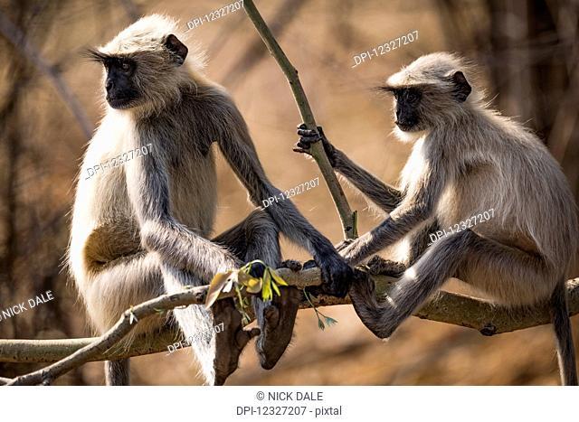 Two Hanuman langurs (Semnopithecus entellus) sitting on a tree branch; Chandrapur, Maharashtra, India