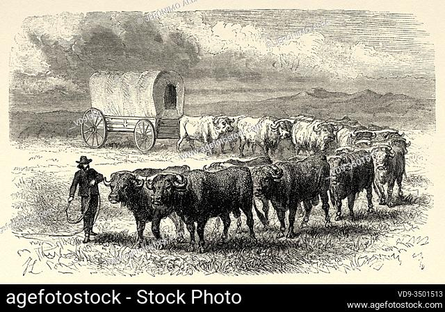 Cattleman on the Great Plains with his herd, United States of America. Journey to the American far west by Simonin 1867. Old engraving El Mundo en la Mano 1878