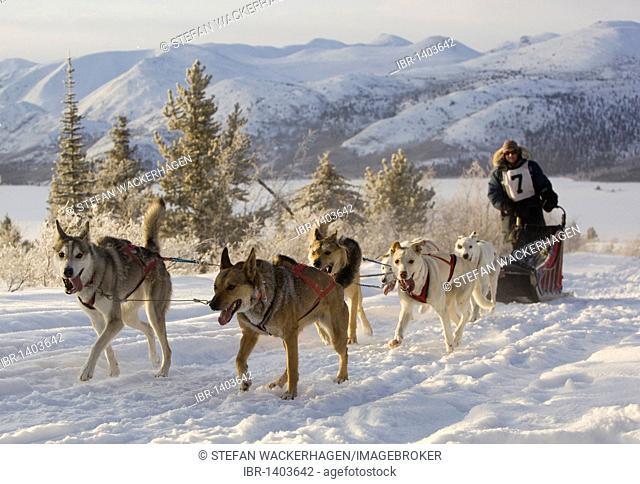 Running sled dogs, Alaskan Huskies, dog team, musher, dog sled race near Whitehorse, Fish Lake behind, Yukon Territory, Canada