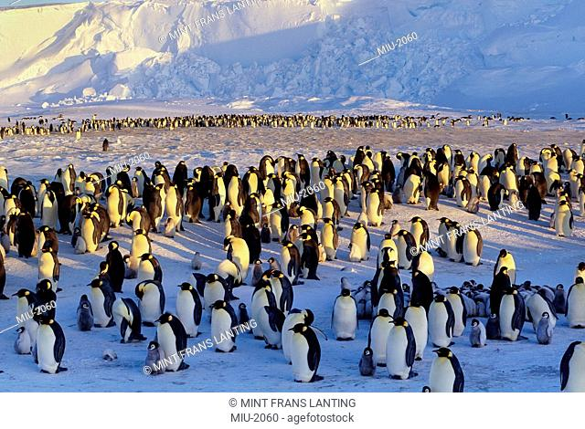 Emperor penguins, Aptenodytes forsteri, adults and chicks in a large colony, Weddell Sea, Antarctica