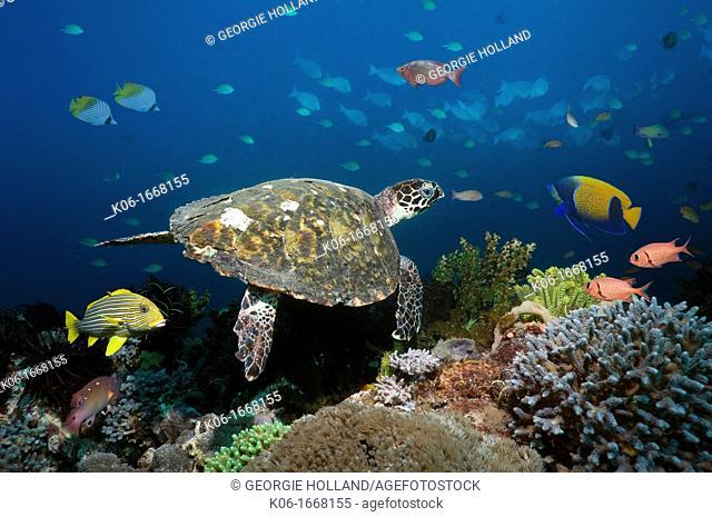 Hawksbill turtle Eretmochelys imbricata swimming over coral reef  Rinca, Komodo National Park, Indonesia