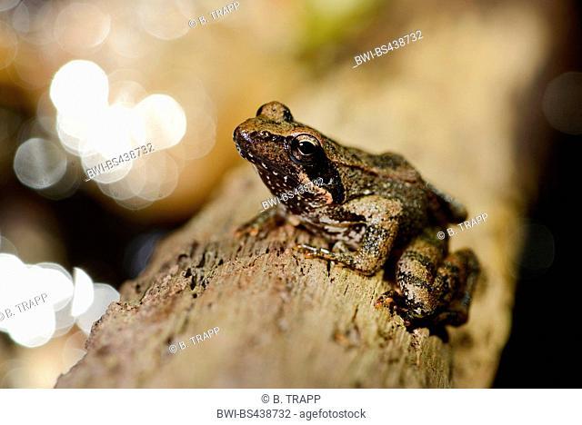 Italian stream frog (Rana italica), sitting at a creek, Italy, Liguria