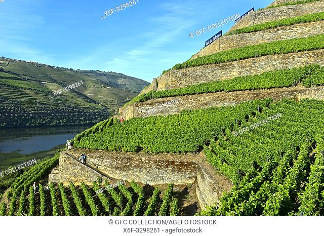 Terraced vineyards with dry stone walls on the steep slopes of the Hell Valley, Vale do Inferno, above the Douro River, Quinta de la Rosa Winery, Pinhao